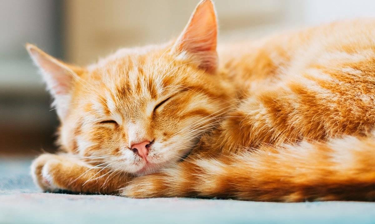 gato dorado