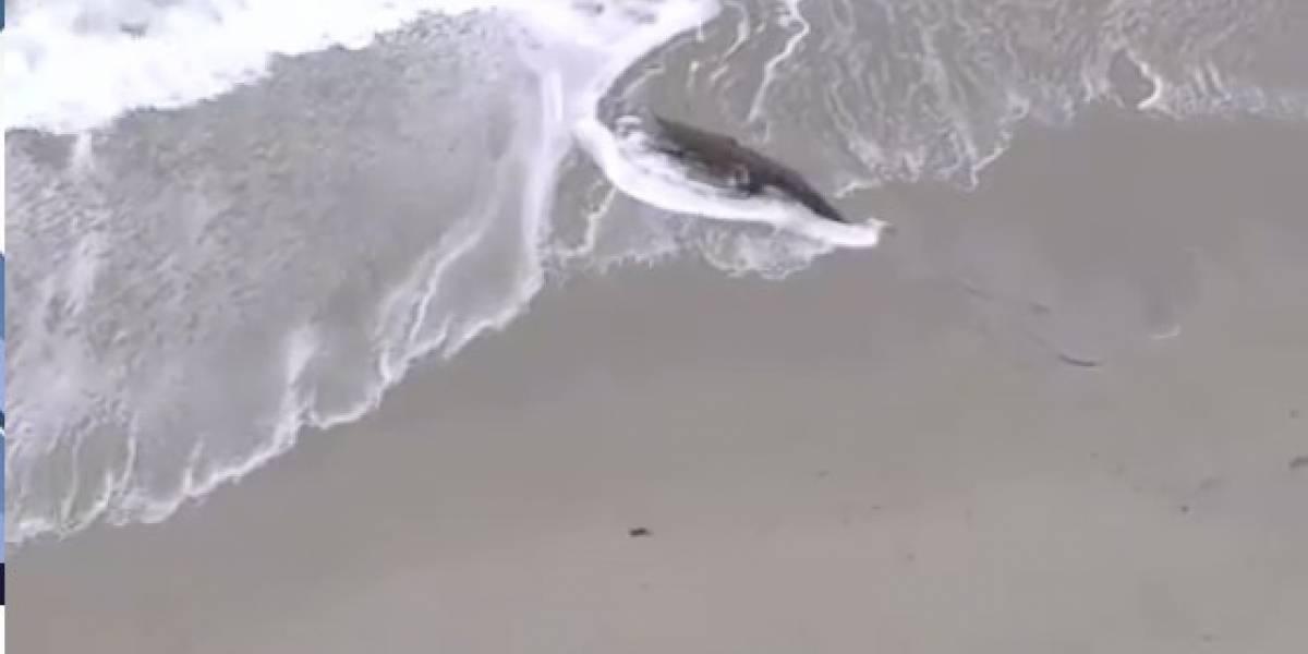 Crocodilo de dois metros de comprimento aparece em praia de Hollywood, nos EUA