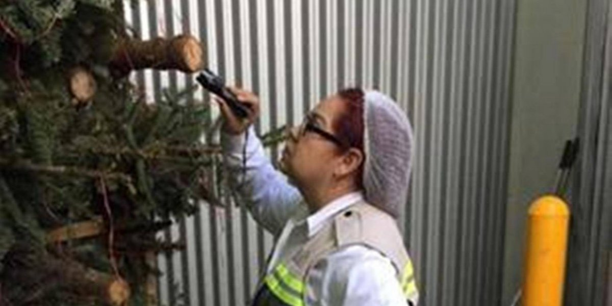 Profepa impide ingreso de más de 2 mil árboles de Navidad con plaga