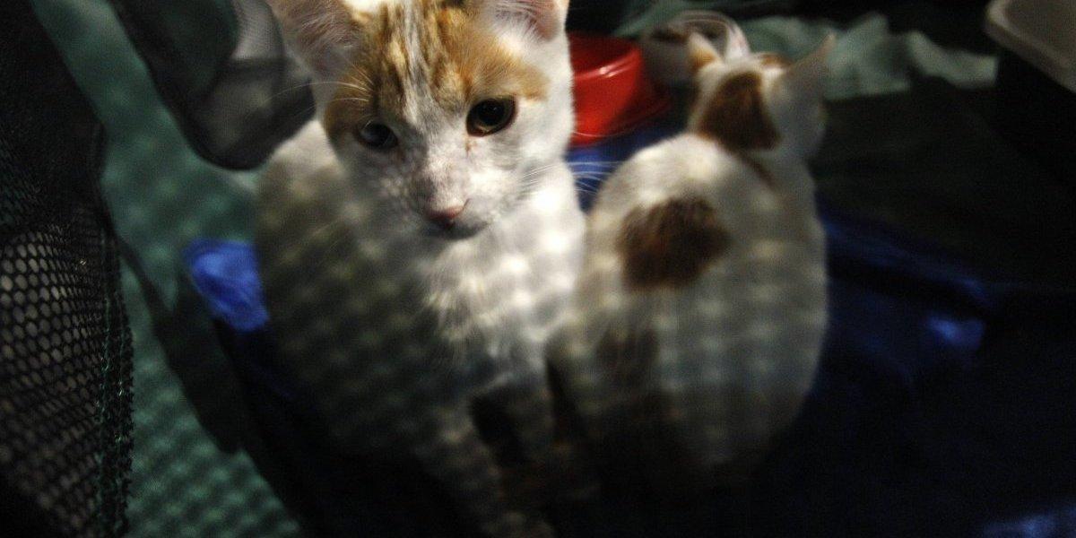 Pura maldad: Hombre es formalizado por lanzar agua hirviendo a gatita en Antofagasta