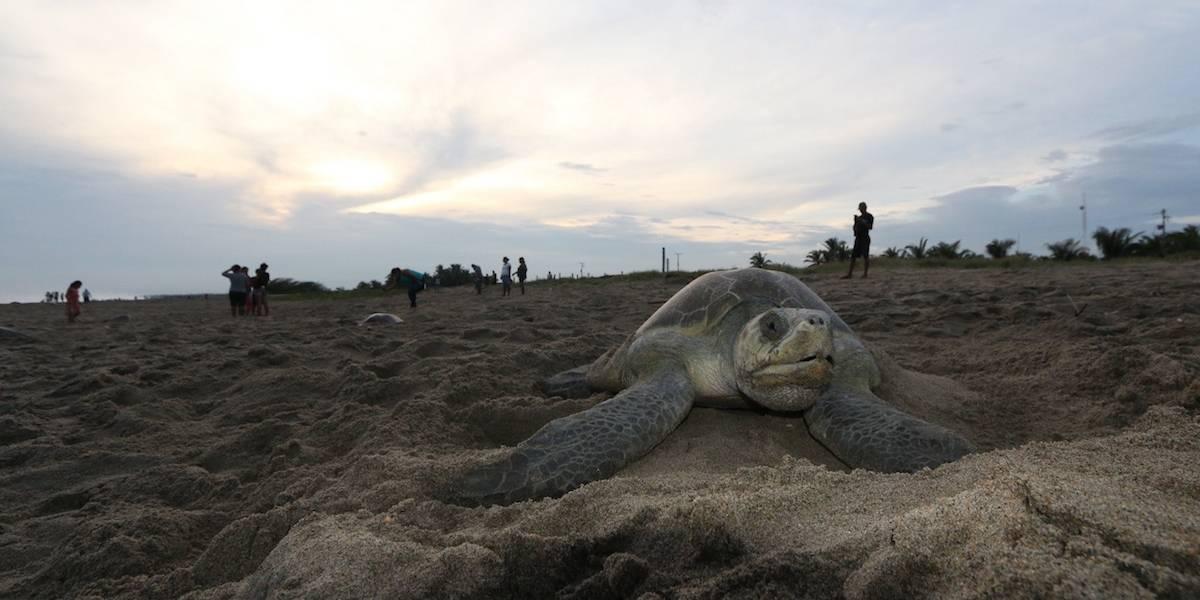 Temporada de anidación de tortugas termina con récord en Cozumel