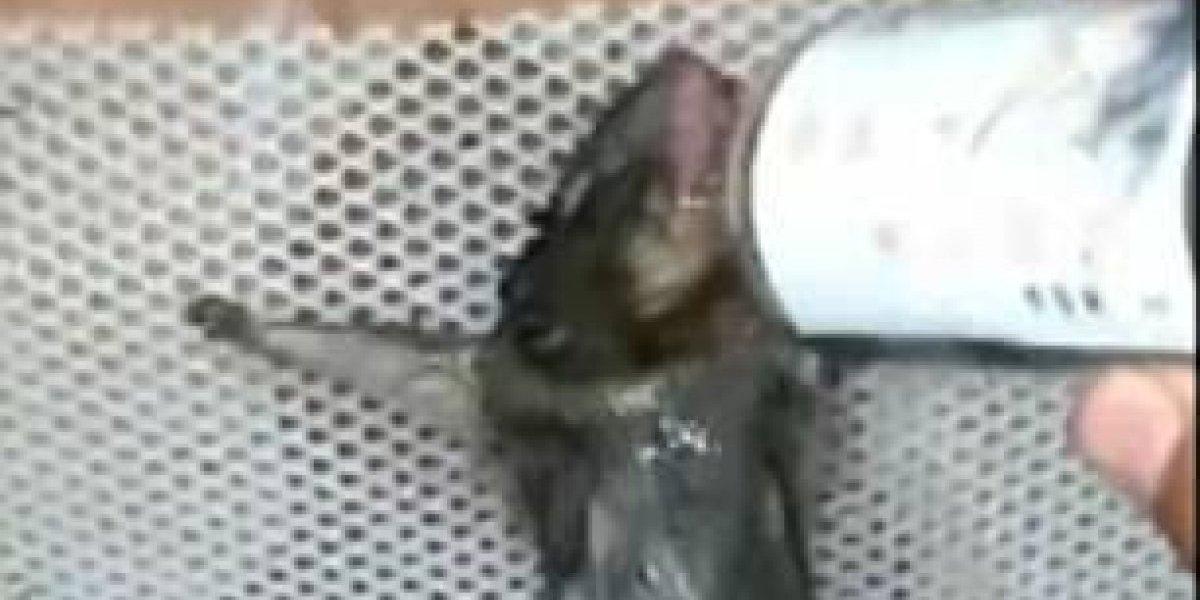 """""""Son parásitos y merecen ser castigadas"""": capturó a una rata comiendo su pan y grabó como la torturó hasta la muerte"""