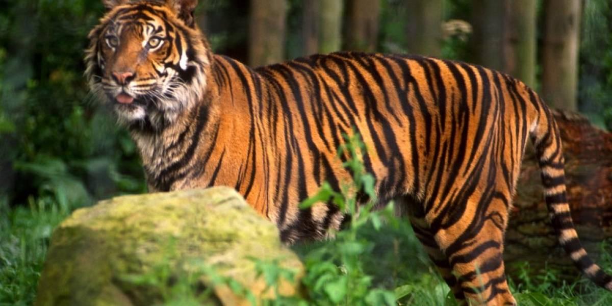 Un tigre de 200 kilos se escapa de un circo y merodea por las calles de París