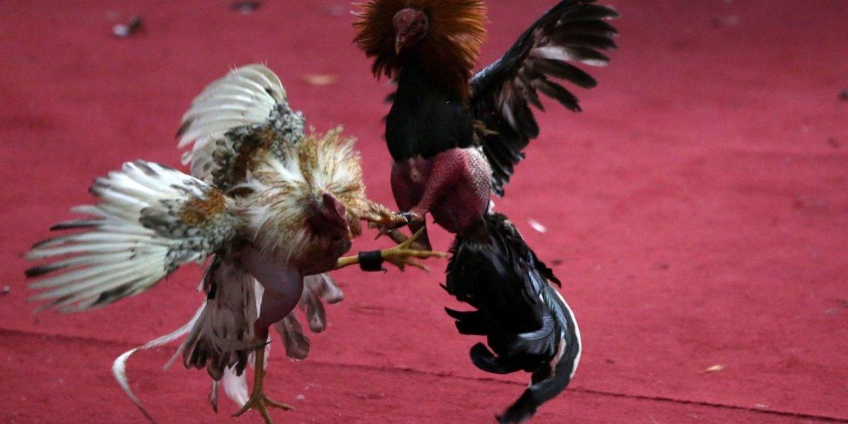 Proyecto del Congreso pondría fin a peleas de gallos en Puerto Rico