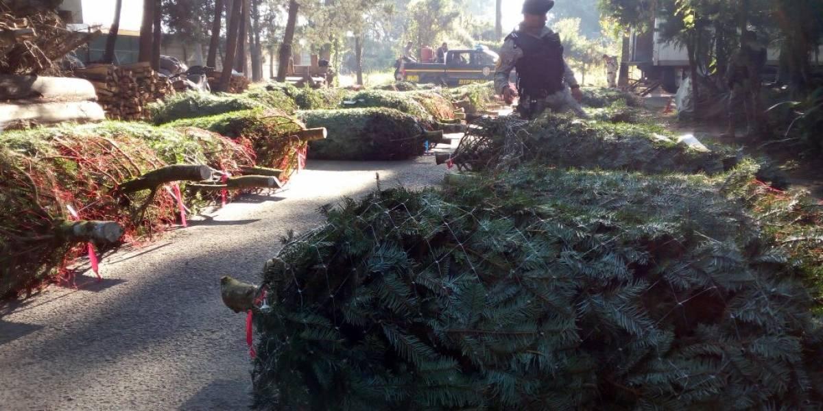 Llevaban árboles de pinabete con un envío vencido