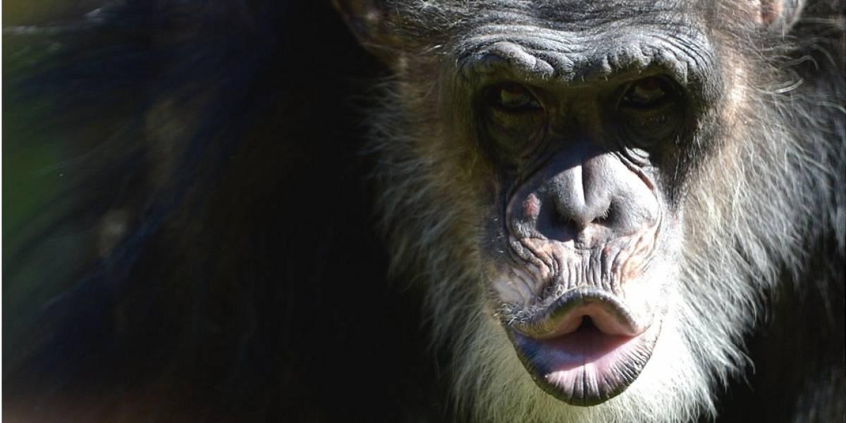 5 lecciones que los chimpancés nos pueden enseñar sobre política