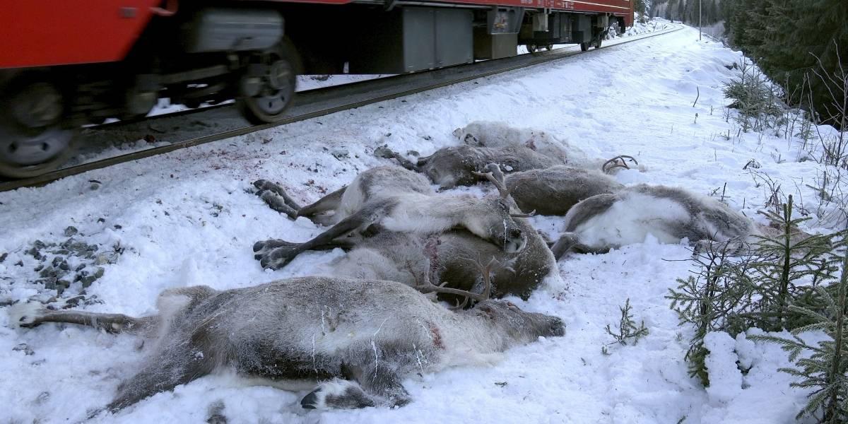 Aumenta la cifra de renos atropellados por trenes en Noruega
