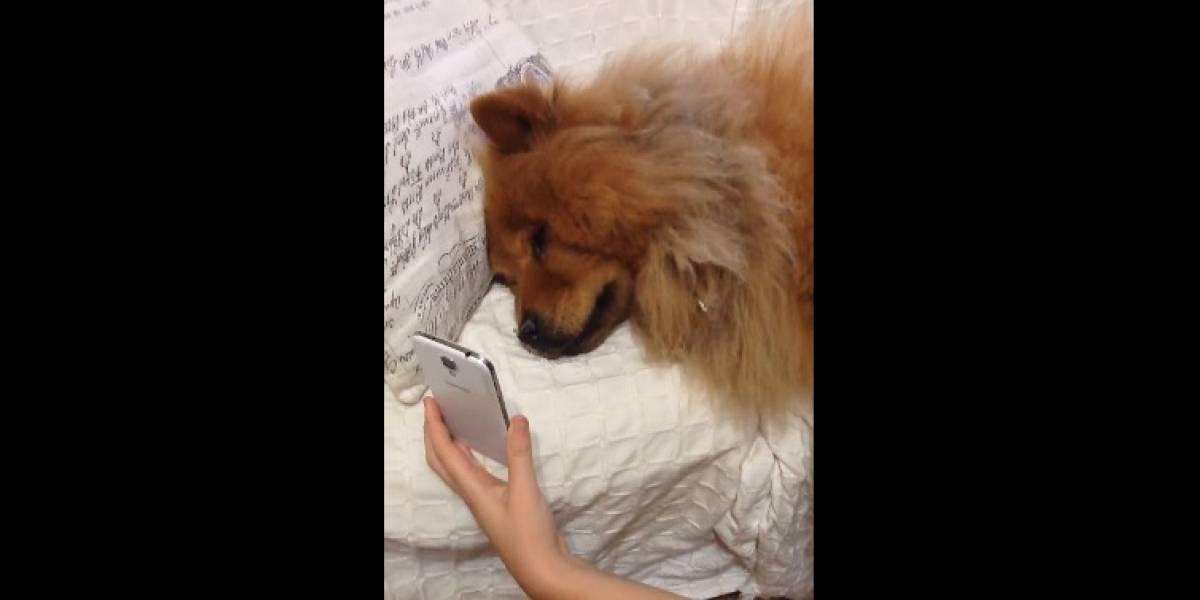 Cachorro vê dona pelo FaceTime e chora de saudade; vídeo