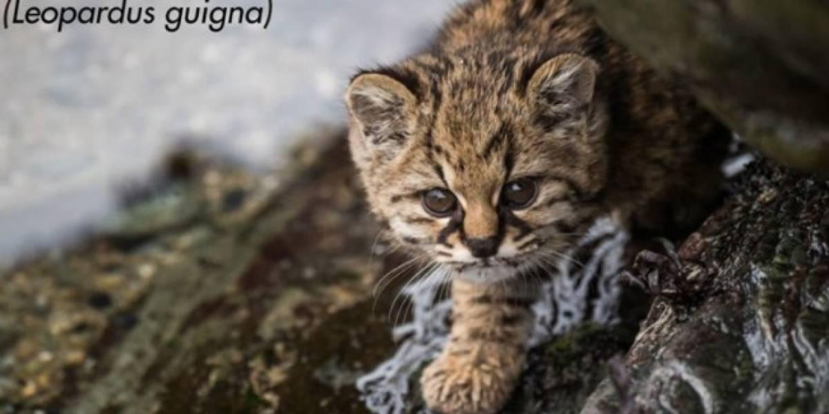 """""""Es hora de reivindicar al Güiña"""": ministerio del Medio Ambiente defendió de ataques en redes a este tierno animalito chileno"""