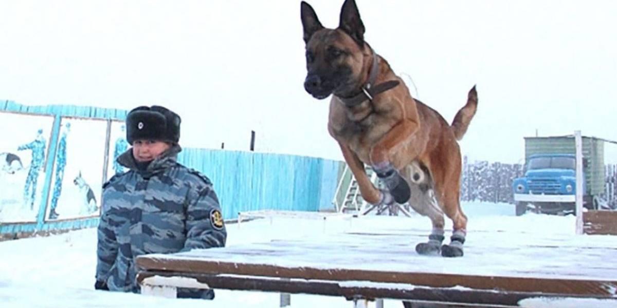 Cães clonados na Coreia do Sul viram 'funcionários' de prisão na Sibéria