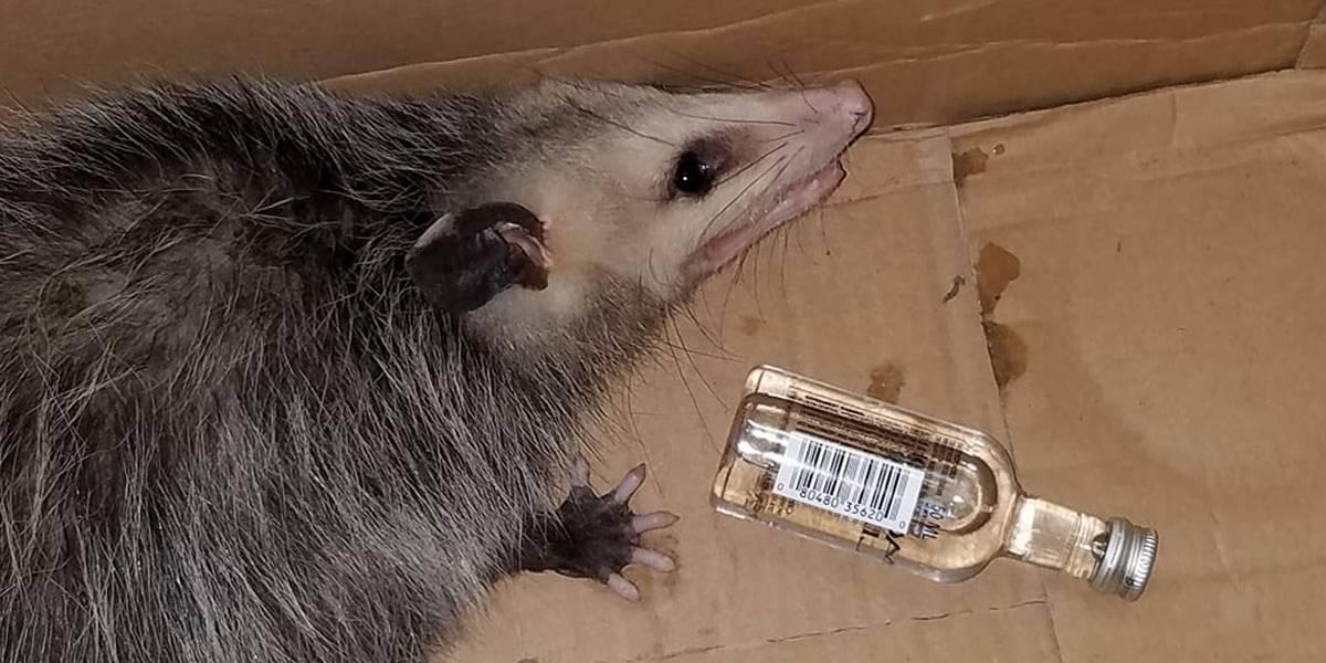 Após invadir loja de bebidas, gambá acaba ficando bêbado