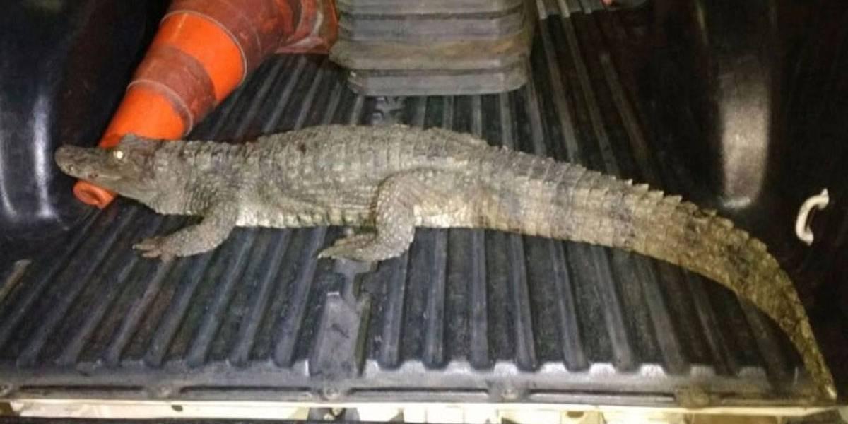 Jovem invade zoológico, furta jacaré e é preso enquanto carregava animal nas costas