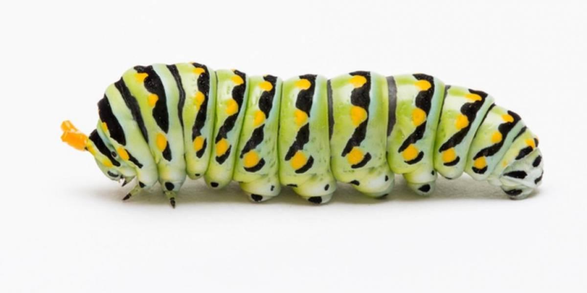 Treine seu cérebro: qual a velocidade média da lagarta?