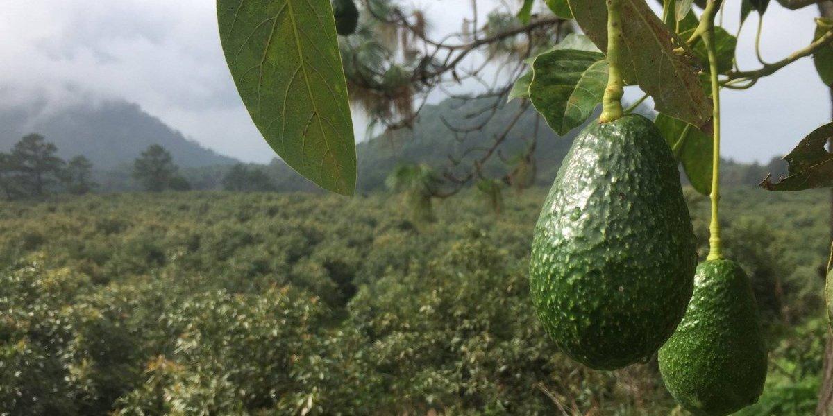 Retiran aguacates cultivados en California