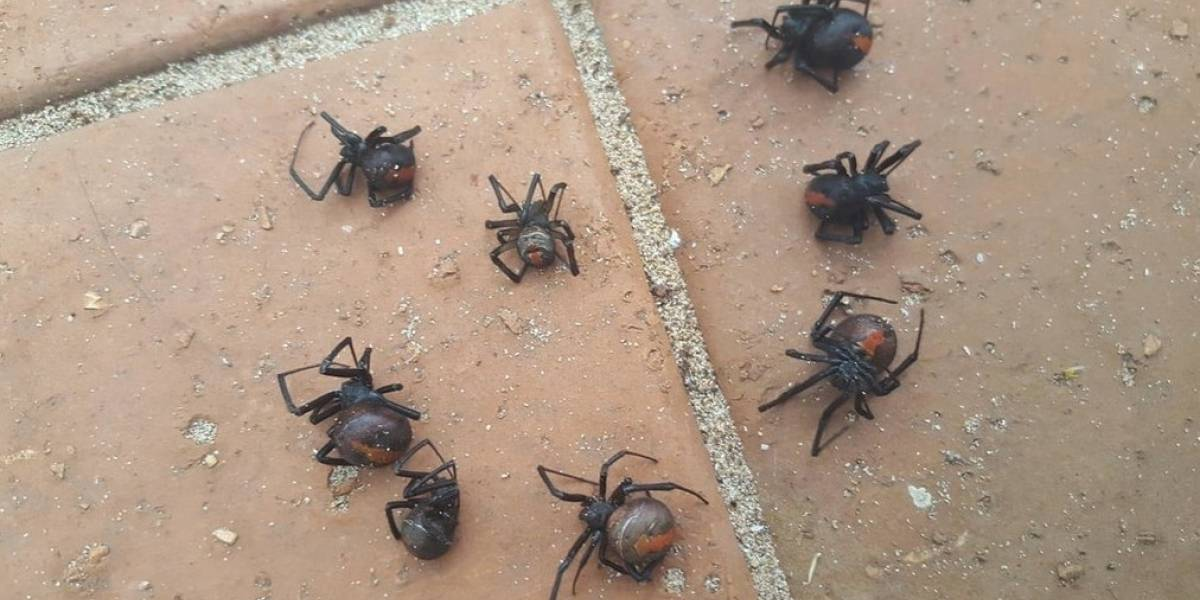 Fuerte lluvia atrajo arañas mortales a un hogar en Australia