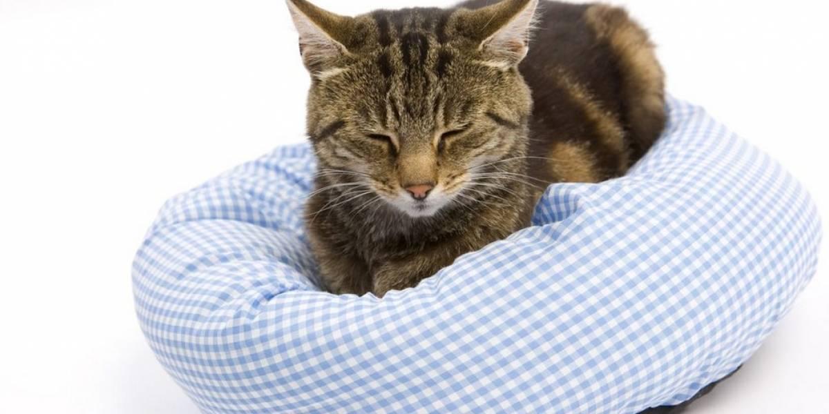 Lo que usted debe saber sobre los cálculos renales en gatos