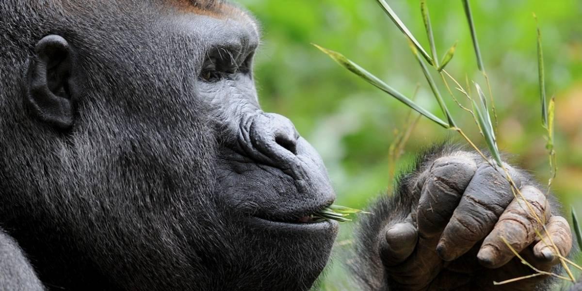 Gorilas pueden aprender solos a limpiar la comida antes de ingerirla