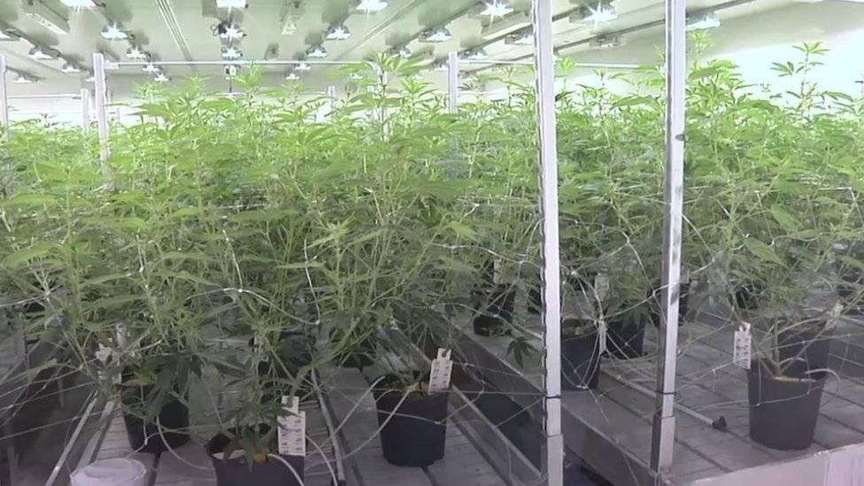 99056490cannabis-ea32321e601223280189f41dd5fe3d07.jpg