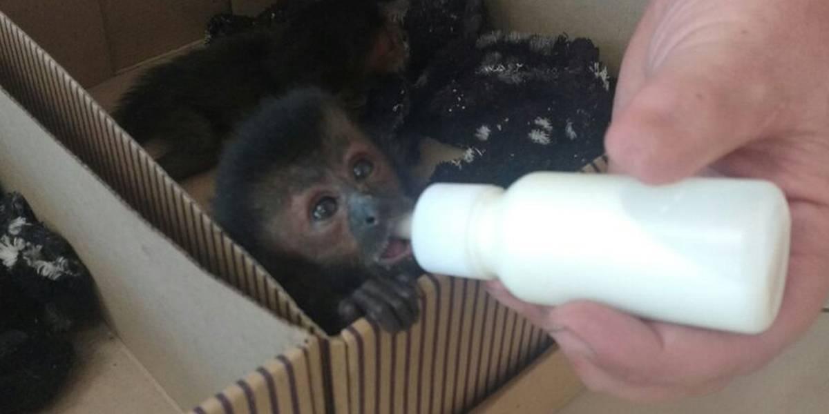 Cinco filhotes de macaco-prego são resgatados em rodovia