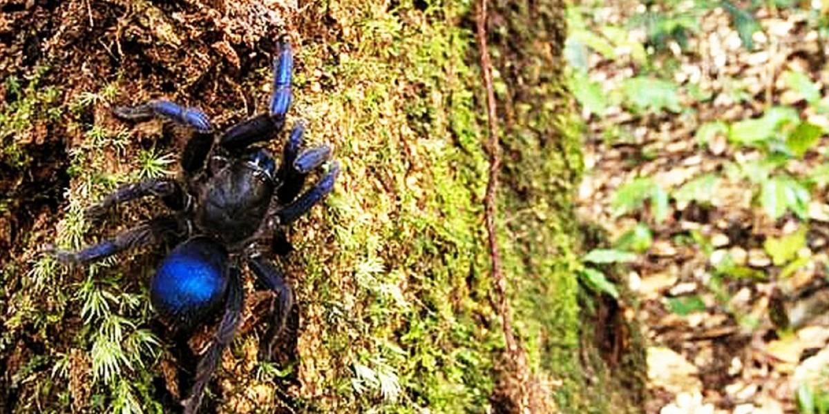 Tarântula azul e besouros aquáticos estão entre espécies descobertas na Amazônia