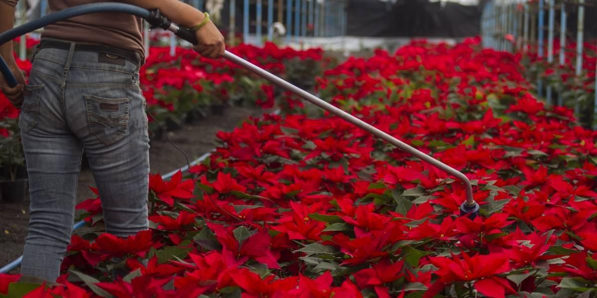 ¡Hoy es Día Nacional de la Flor de Nochebuena!