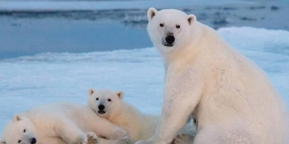 ¡Desgarrador! Un oso polar muere lentamente de hambre por el calentamiento global