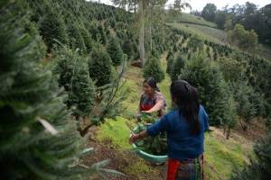 Pinabetes en Guatemala