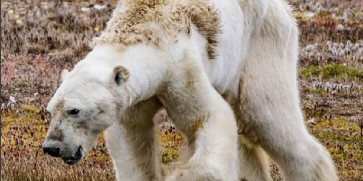 Graban la desgarradora muerte de un oso polar famélico en una isla sin hielo en Canadá