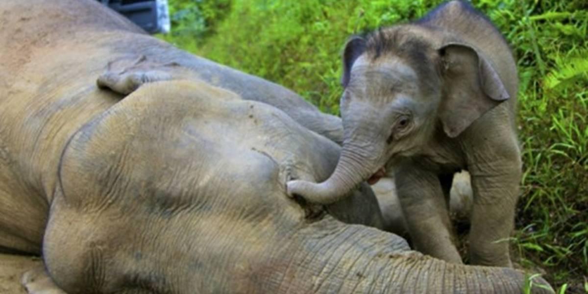 Las tristes consecuencias de cuando la humanidad les quita su hábitat: la dramática historia tras muerte de cinco elefantes