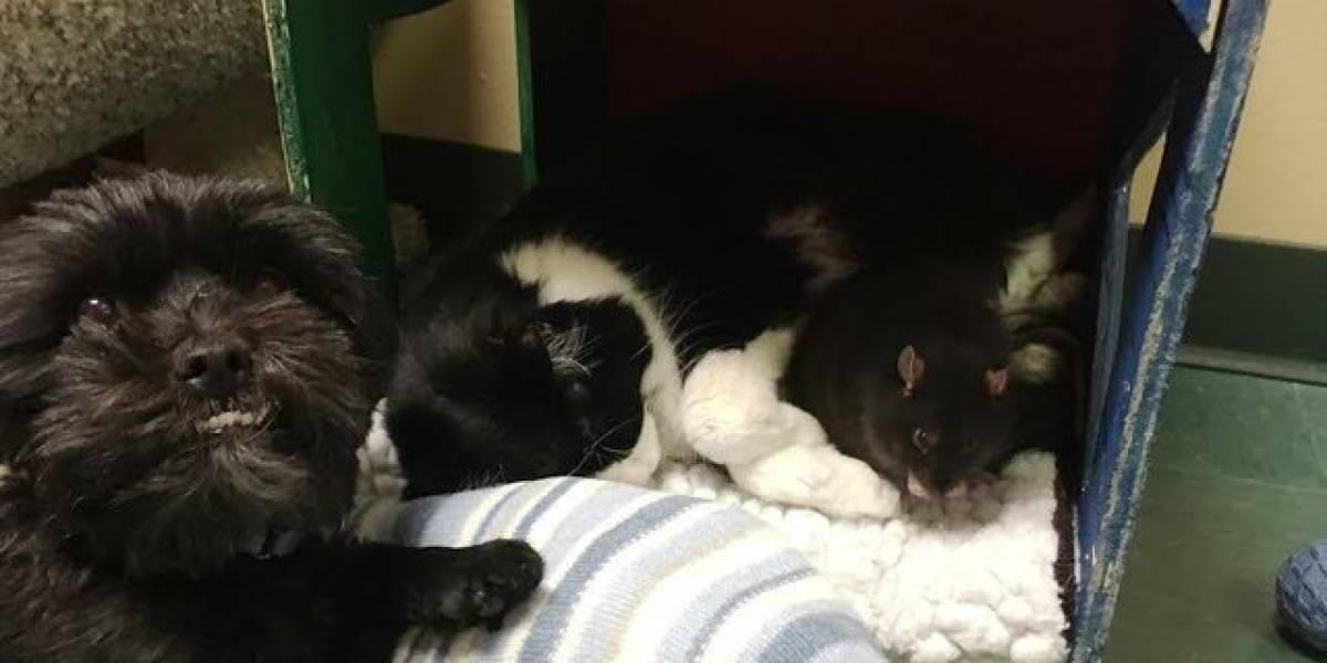 Cadela, gato e rato se tornam melhores amigos e se recusam a ser adotados separadamente