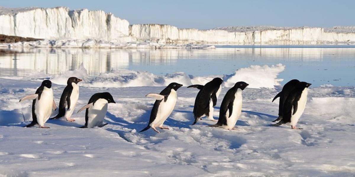 Hallan fósil de un pingüino prehistórico que tenía el tamaño de un humano