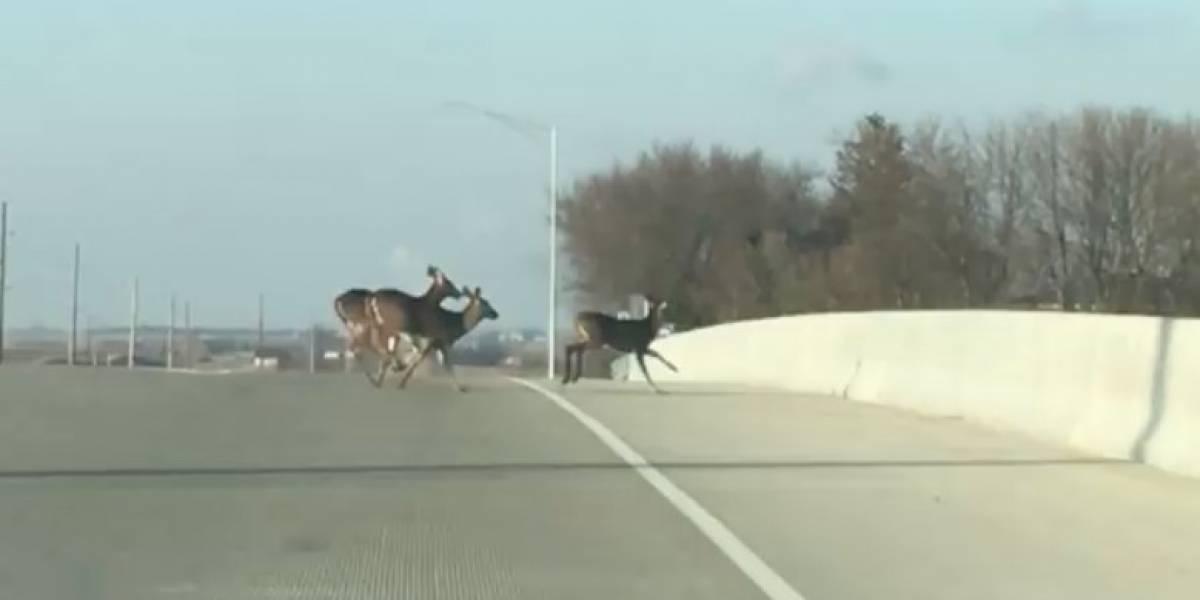 El impactante video que muestra a un grupo de venados en una autopista saltando a su muerte