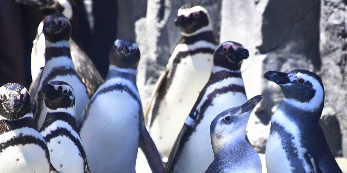 Com 100 kg e do tamanho de um homem: conheça os pinguins que habitavam a Nova Zelândia