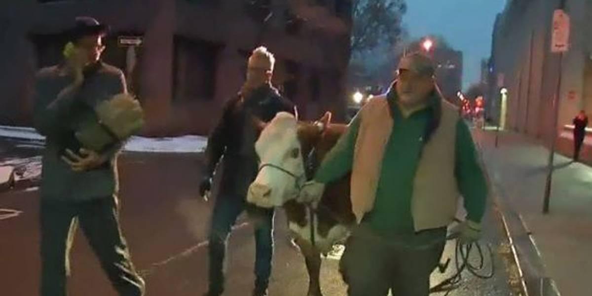 Vaca foge de presépio nos EUA por duas vezes e é capturada por policiais