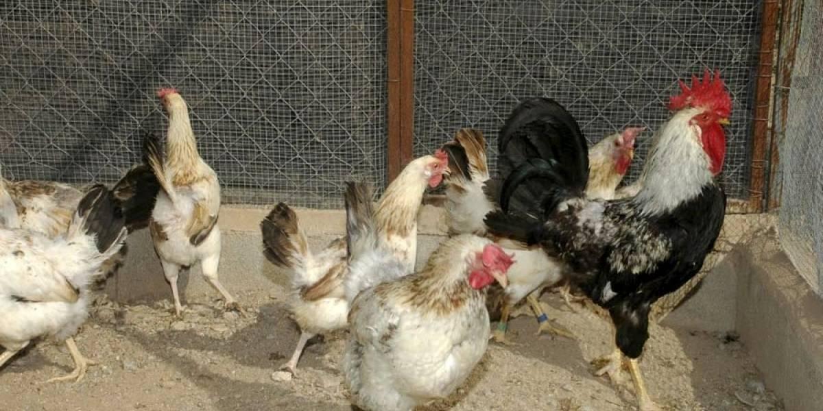 Hombre habría abusado de varias gallinas, según sus familiares