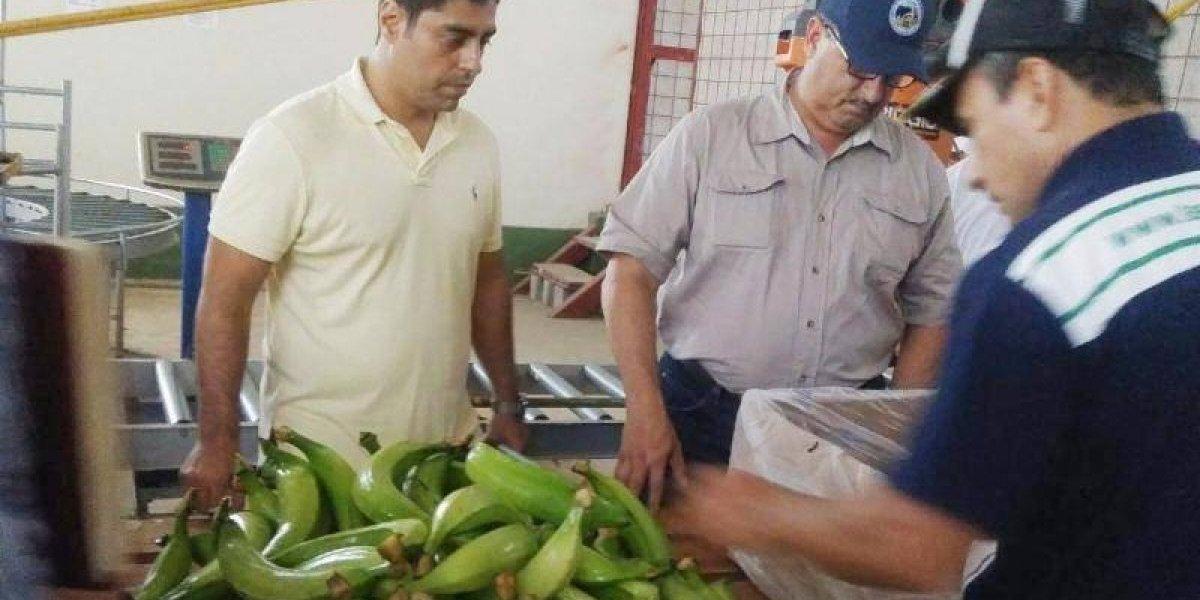 Agricultura importará más plátanos y guineos a P.R.