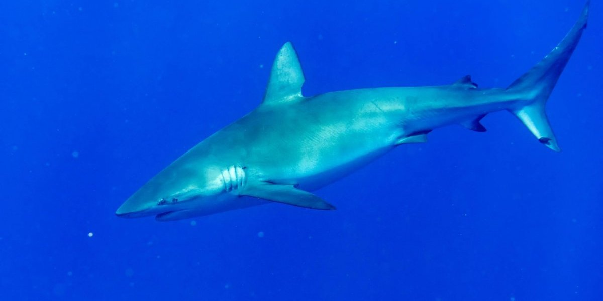 Encuentran sin vida a cientos de tiburones en el Golfo Pérsico