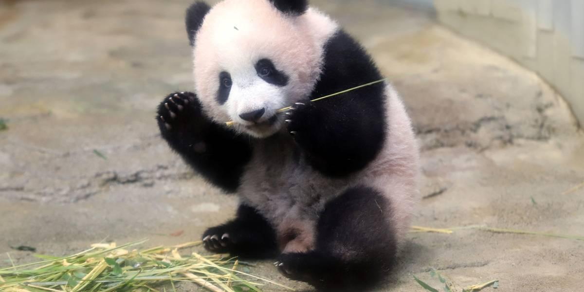 Bebê panda Xiang Xiang faz estreia em zoológico do Japão