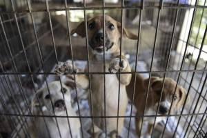 En esta imagen del 15 de diciembre de 2017, cachorros en una jaula en el Canita Sanctuary, que acoge a cientos de perros y gatos abandonados y sufrió algunos daños en el huracán María de hace casi tres meses, en Guayama, Puerto Rico.