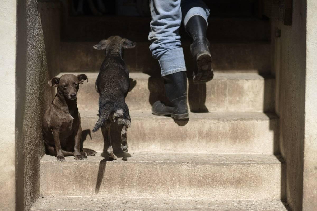 AP Foto/Carlos Giusti En esta imagen del 15 de diciembre de 2017, cachorros moviéndose libres por el Canita Sanctuary, que protege a perros y gatos de la eutanasia, en Guayama, Puerto Rico.