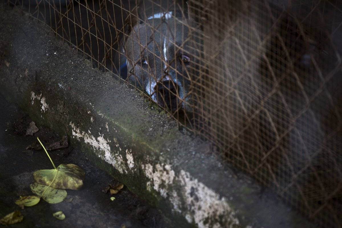 AP Foto/Carlos Giusti En esta imagen del 15 de diciembre de 2017, un perro rescatado en un recinto en el Canita Sanctuary, donde se protege a perros y gatos abandonados de la eutanasia, en Guayama, Puerto Rico.