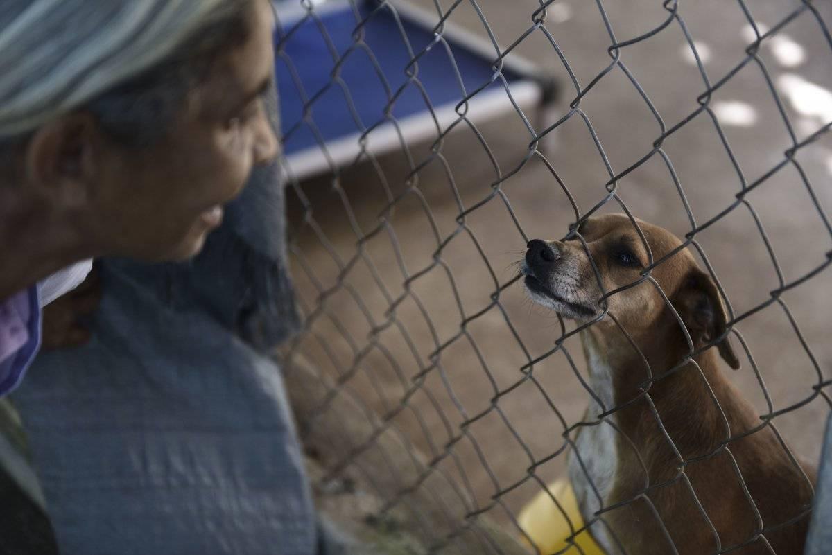 AP Foto/Carlos Giusti En esta imagen del 15 de diciembre de 2017, un perro rescatado mira a través de una valla a Carmen Cintrón, fundadora del Canita Sanctuary, donde se protege de la eutanasia a perros y gatos abandonados, en Guayama, Puerto Rico.