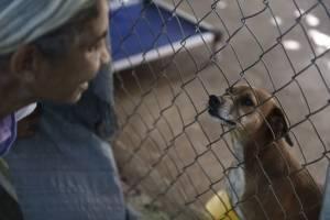 En esta imagen del 15 de diciembre de 2017, un perro rescatado mira a través de una valla a Carmen Cintrón, fundadora del Canita Sanctuary, donde se protege de la eutanasia a perros y gatos abandonados, en Guayama, Puerto Rico.