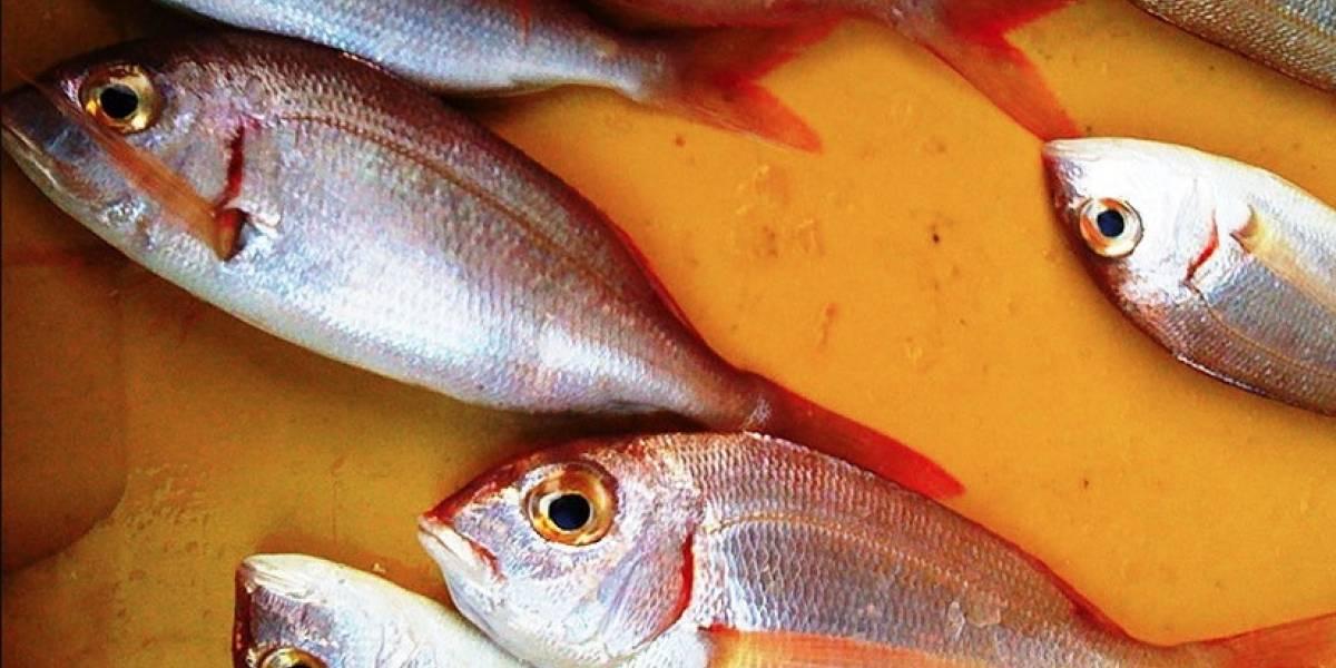 AUDIO. Así suena elgrito sexual de estos peces, que es peligroso para otras especies