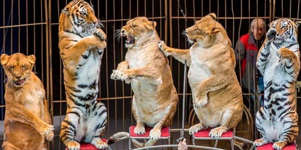 Atração em circo da Rússia, leoas chocam público por estarem acima do peso