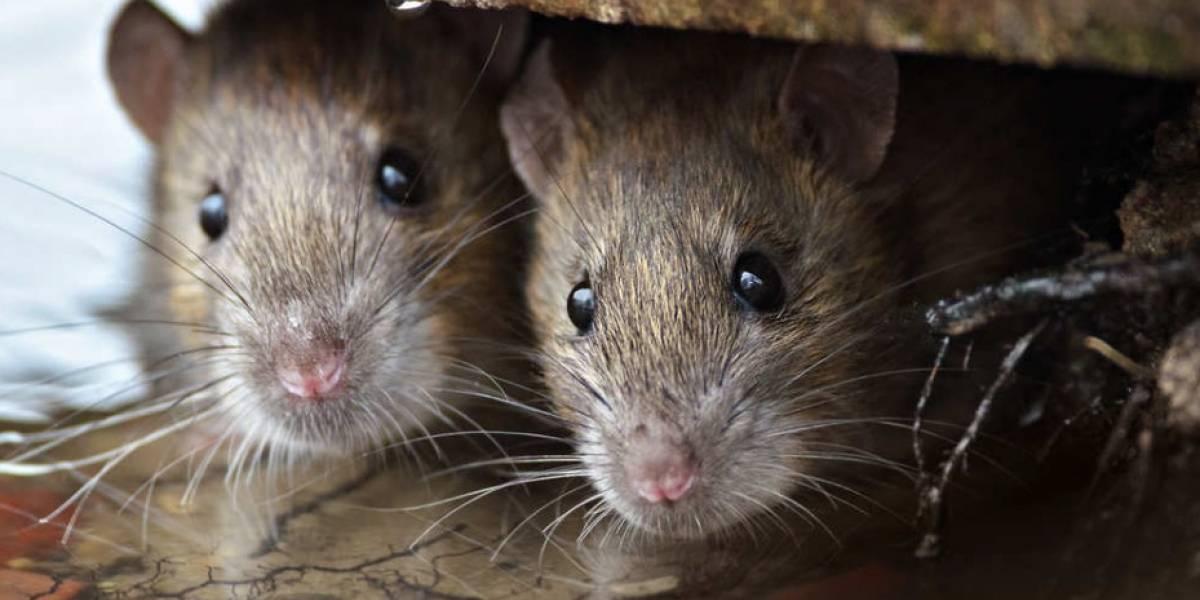Una plaga de ratones infesta el estadio de unfamoso club inglés
