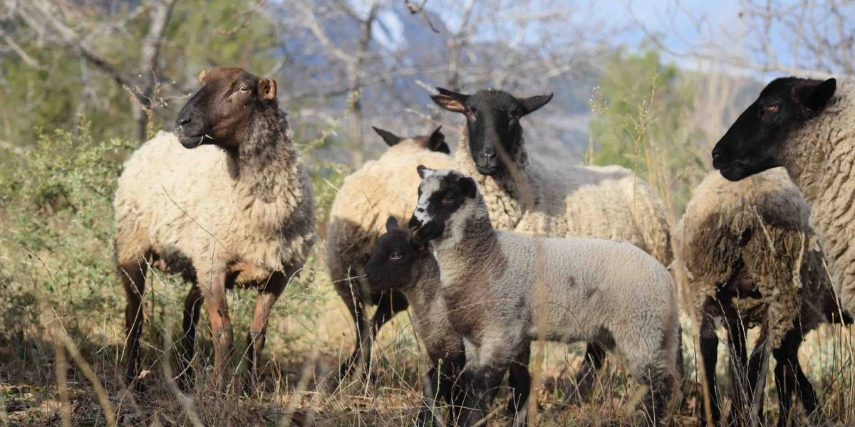 Cómo el pastoreo de animales previene incendios y mejora el suelo