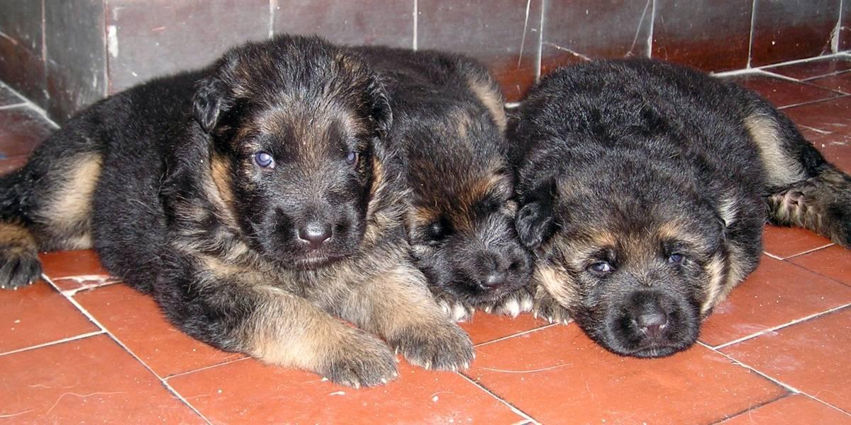 Rescatan 25 Cachorros que eran vendidos ilegalmente bajo precarias condiciones en Cali