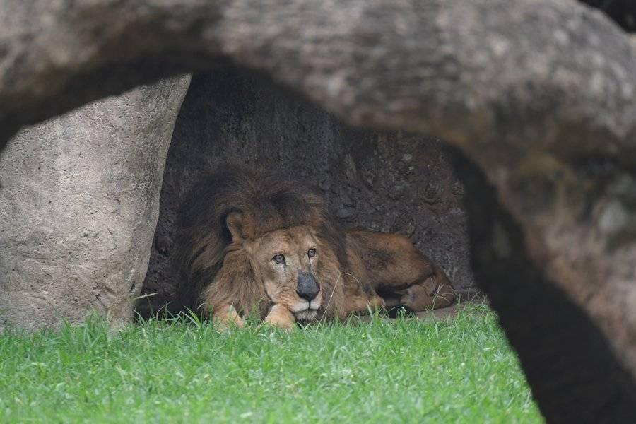León en agonía