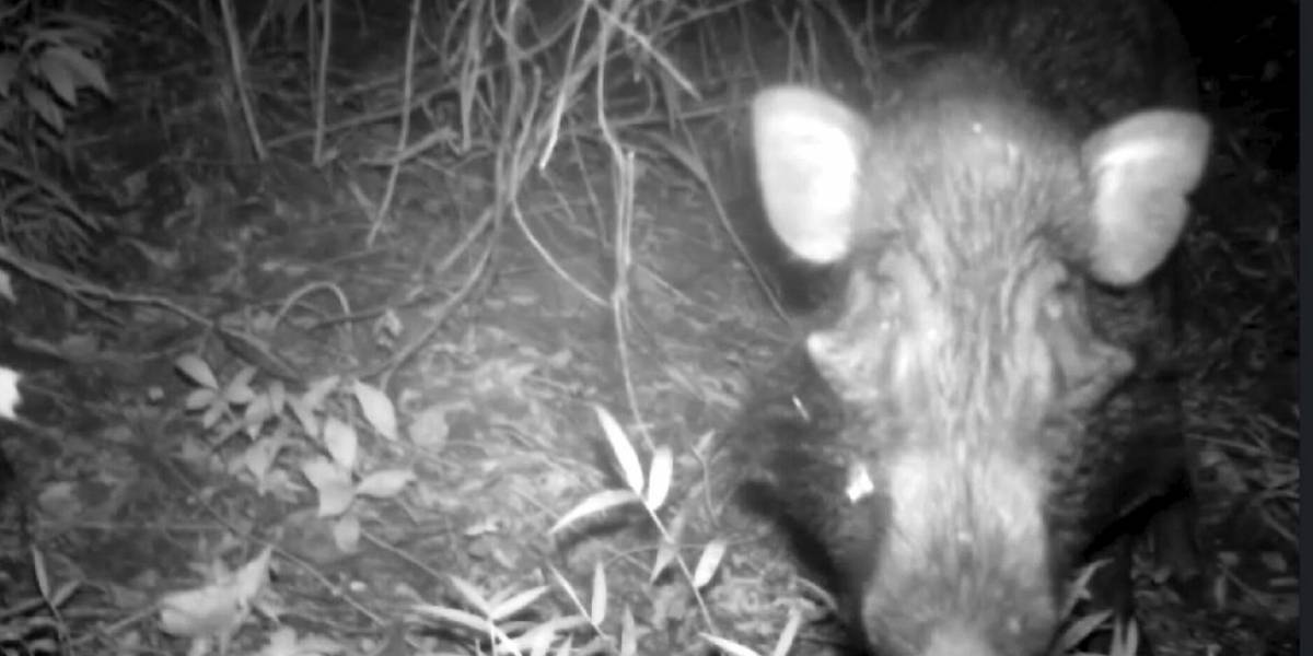 """Cientistas registram pela 1ª vez imagens de """"porco mais feio do mundo"""" na natureza"""